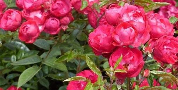 Fête des Mères rosier grimpant