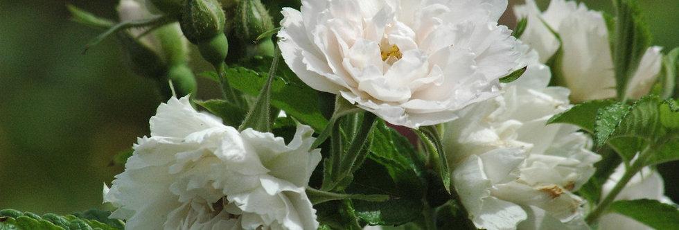 White Grootendorst rosier ancien