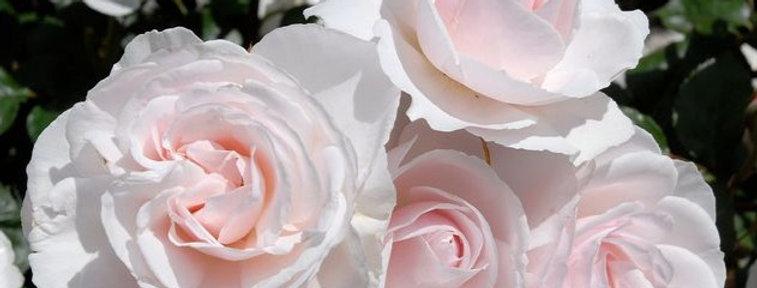 Jardin de Granville rosier buisson