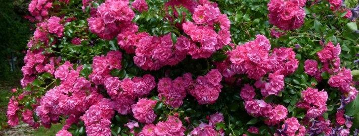 Eméra rosier pleureur