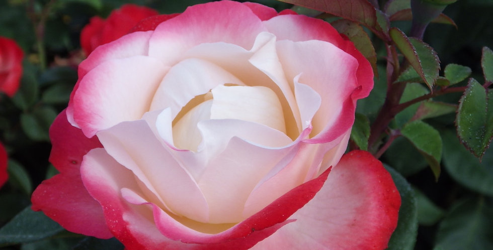 La Garçonne rosier buisson