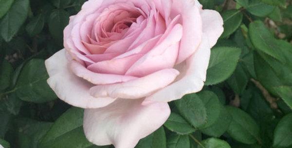 The Pride rosier buisson