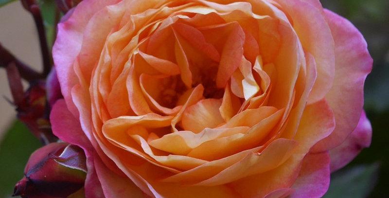 Rosier de la Mémoire rosier buisson