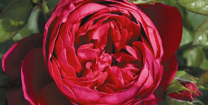 Trocadéro rosier buisson