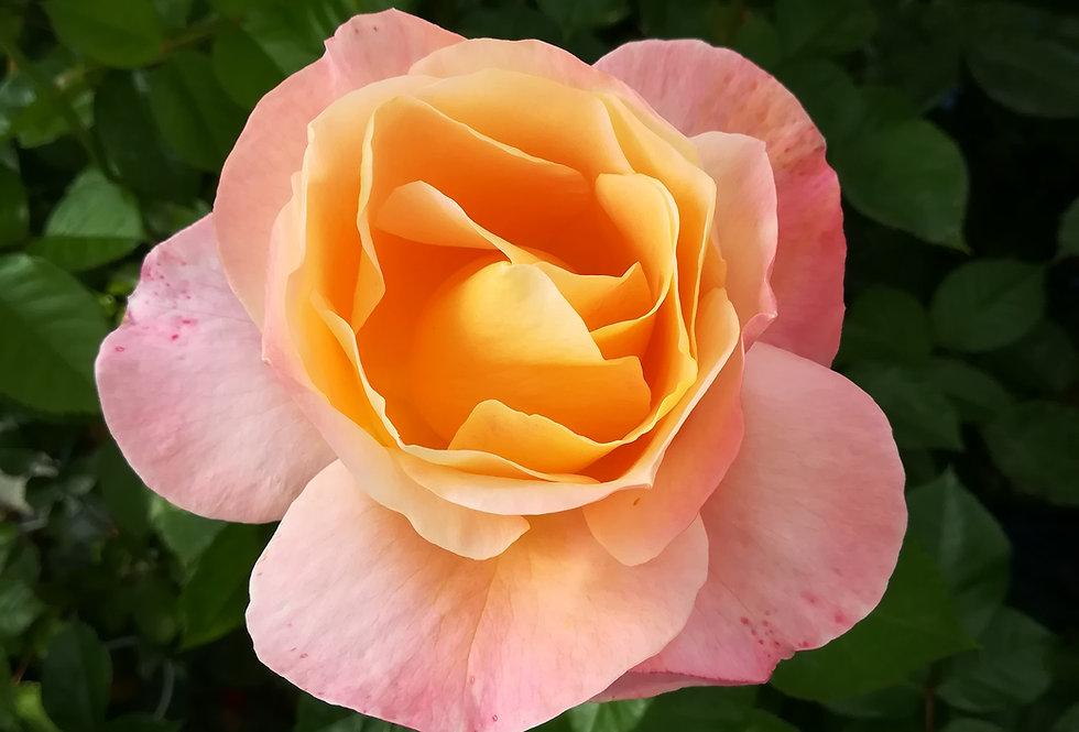 Isabelle Autissier rosier buisson