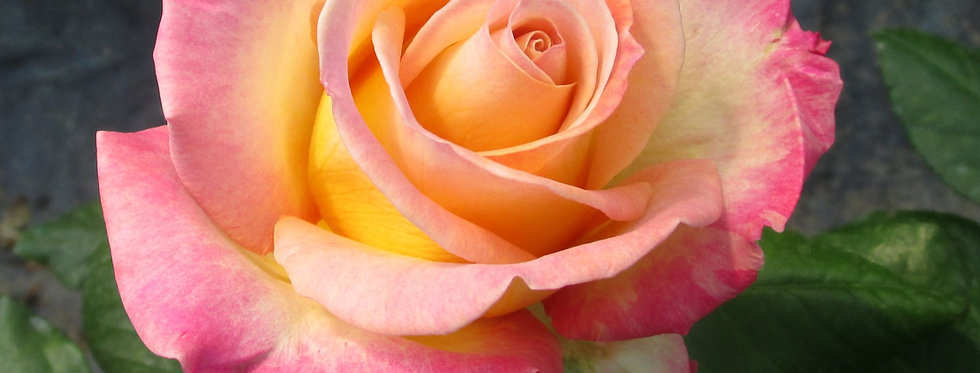 Sweet Delight rosier buisson
