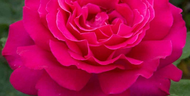 Vélasquez rosier buisson