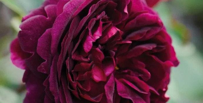 Munstead Wood rosier anglais