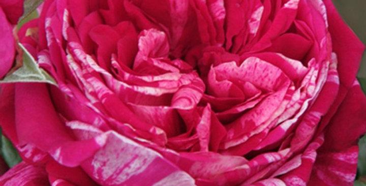 Crazy Fashion rosier buisson