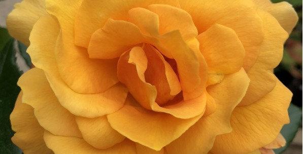 Françoise Berville rosier buisson