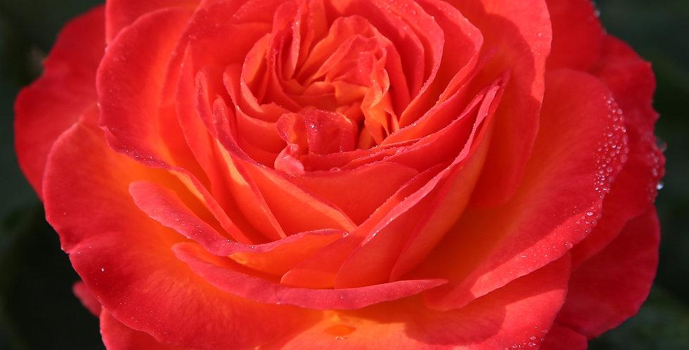 Vulcano rosier buisson