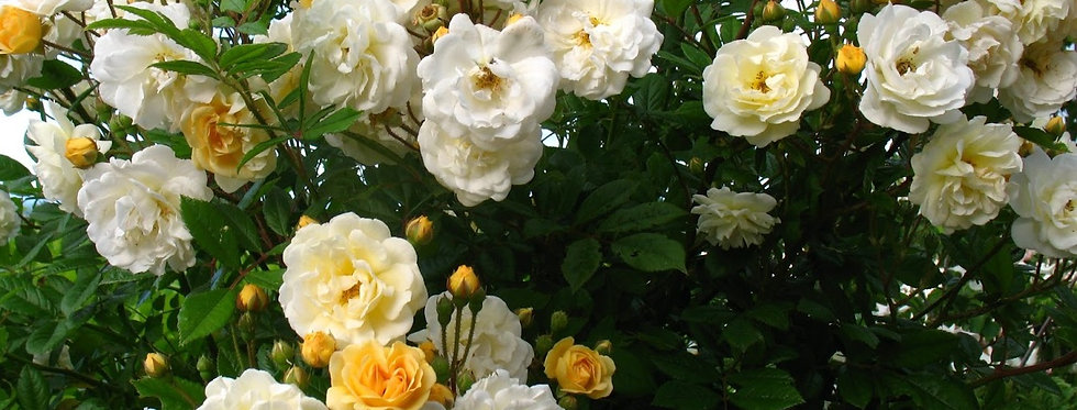 Ghislaine de Féligonde rosier ancien