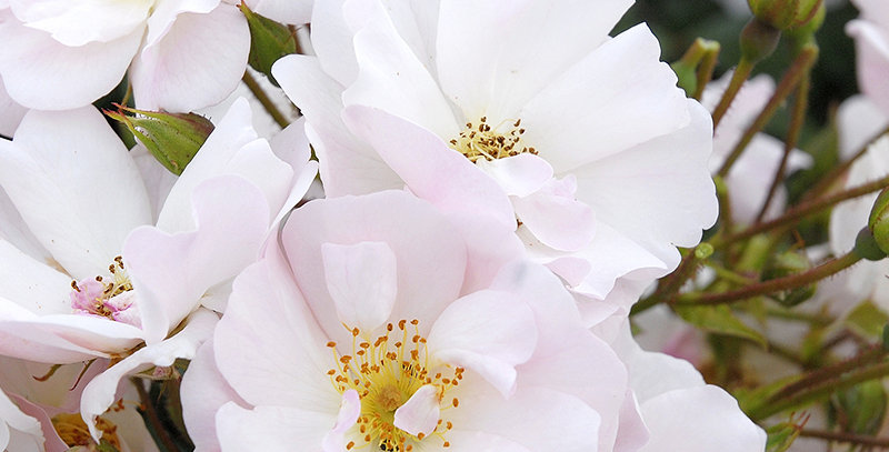 Rosée du matin rosier buisson