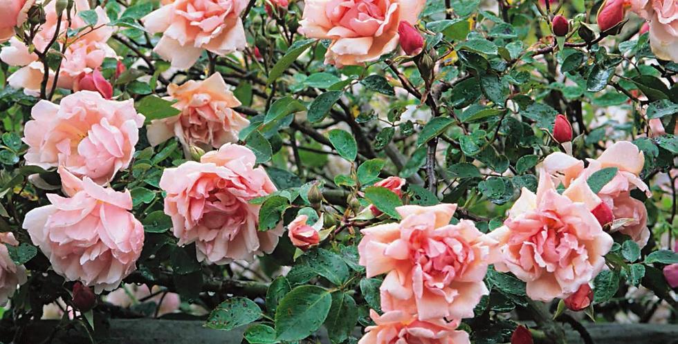 Albertine rosier liane