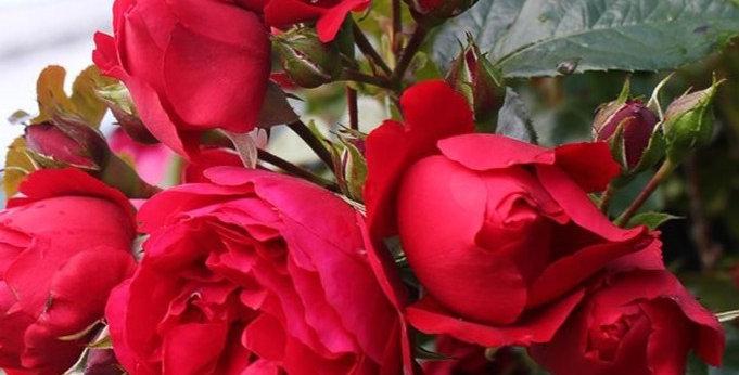 Florentina rosier grimpant