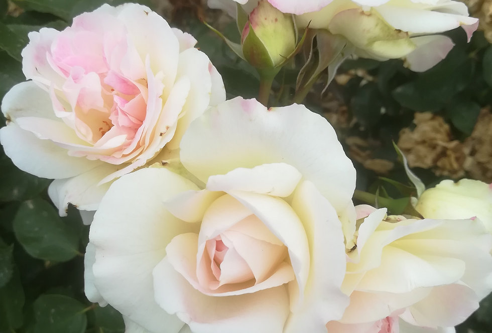 Dalida rosier buisson