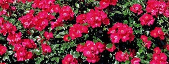 Pink Flash rosier buisson
