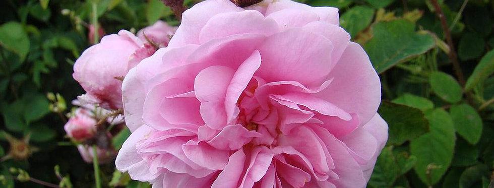 Centifolia Muscosa rosier ancien