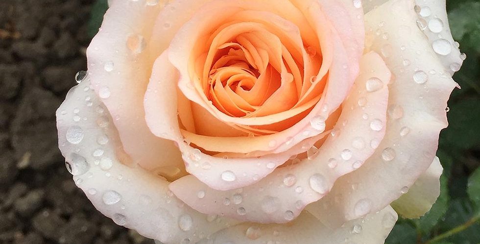 Byblos rosier buisson