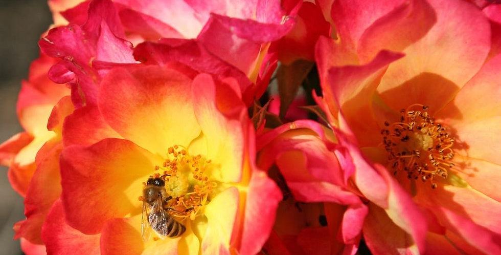 Summer of love rosier buisson