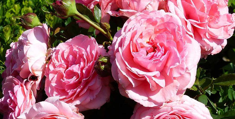 Princesse Gabriella de Monaco rosier buisson