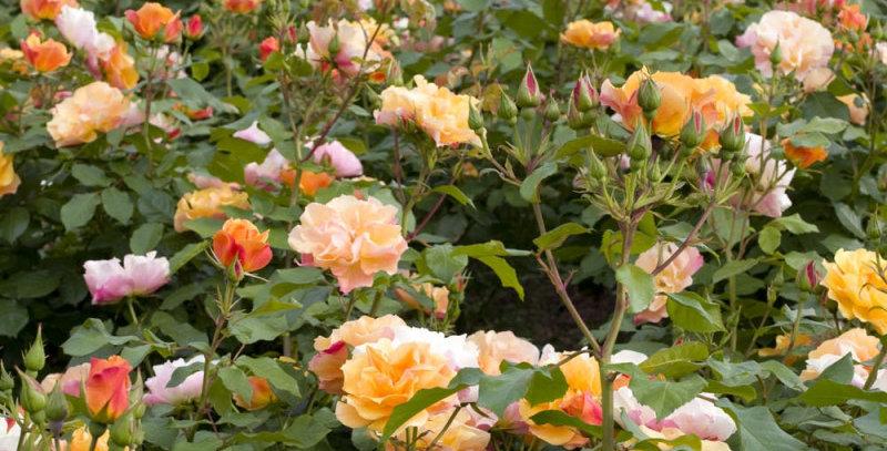 Téquila rosier buisson