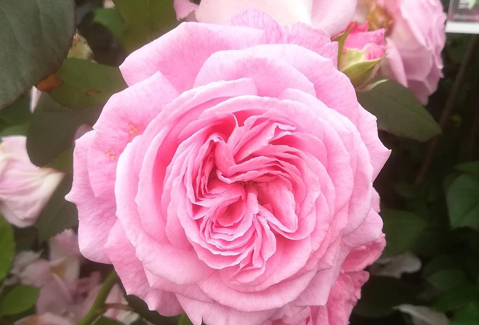 "Madame de Maintenon ""Rosengrafin Marie Henriette"" rosier buisson"
