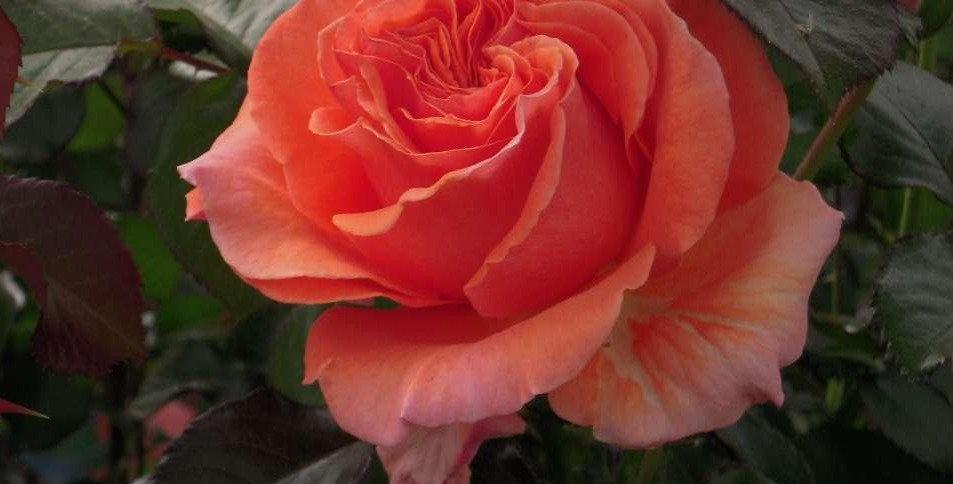 François Mauriac rosier buisson