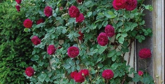 Falstaff rosier grimpant anglais