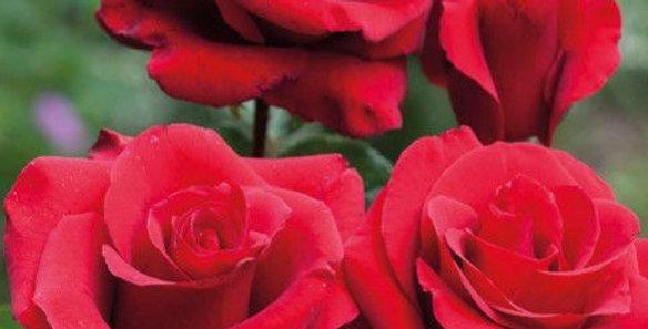 Néfertiti rosier buisson