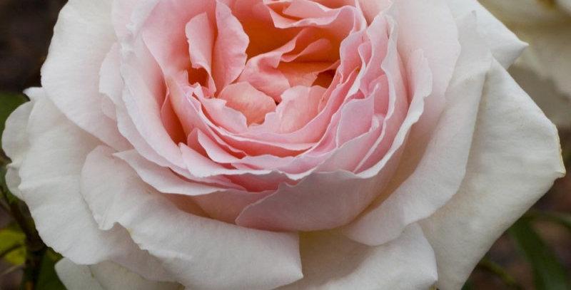 André Le Notre rosier buisson