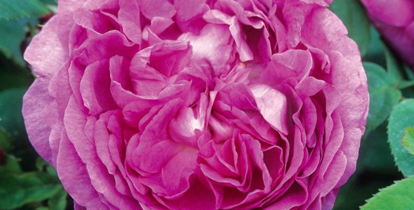 Reine des Violettes rosier ancien