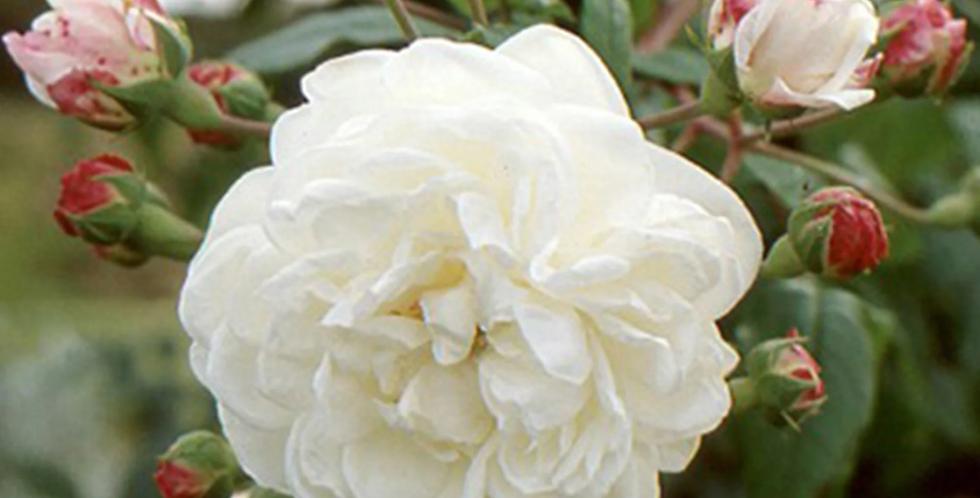 Aimée Vibert rosier liane