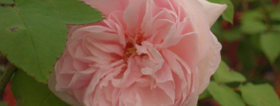 Cuisse de Nymphe rosier ancien
