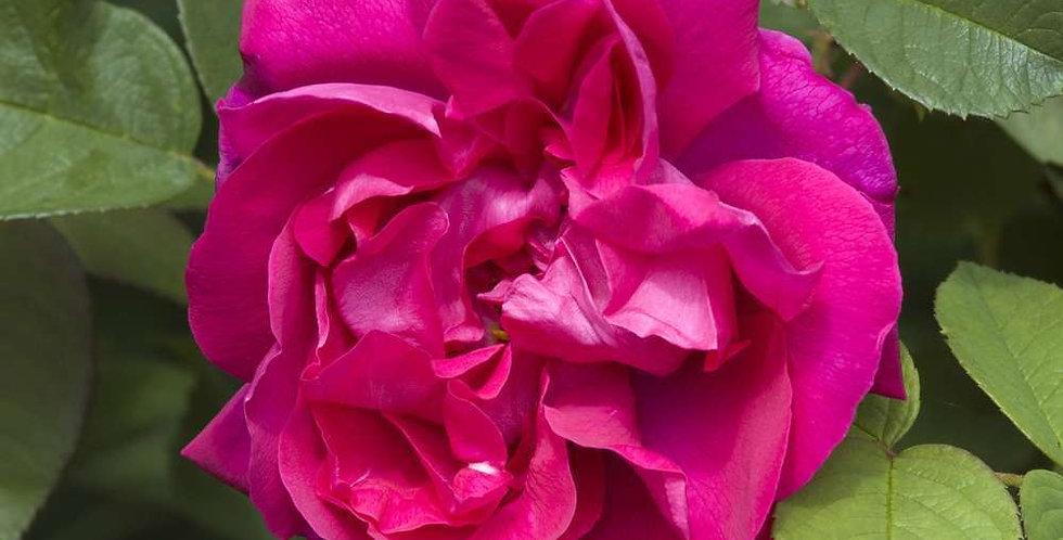 Rose à Parfum de l'Hay rosier ancien