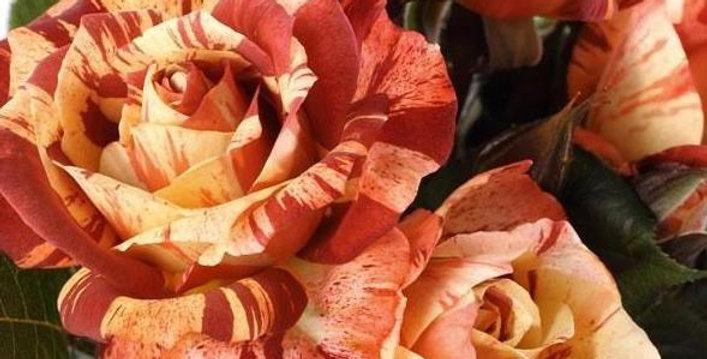 Poseidon rosier buisson