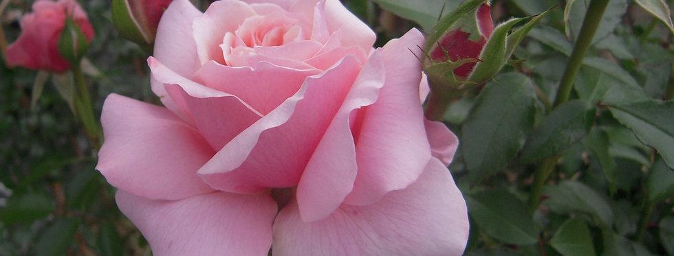 Botticelli rosier tige