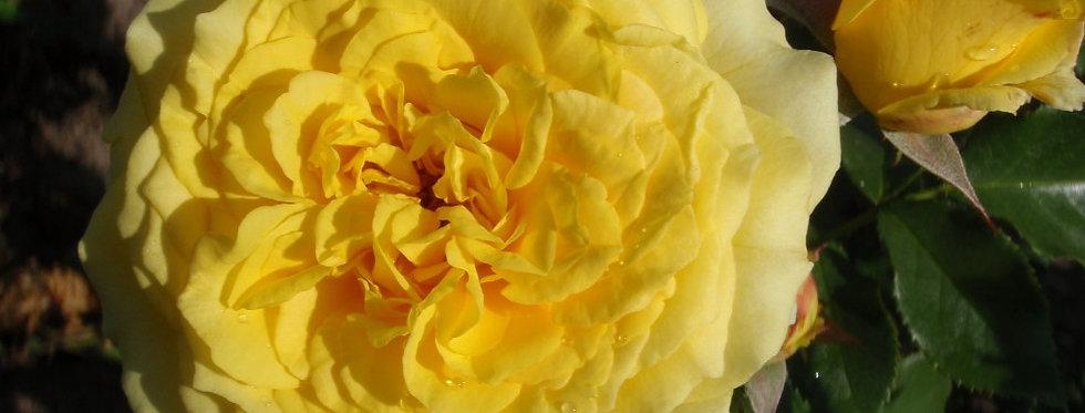 La Rotonde rosier buisson