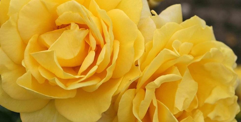 Sunmaid rosier buisson