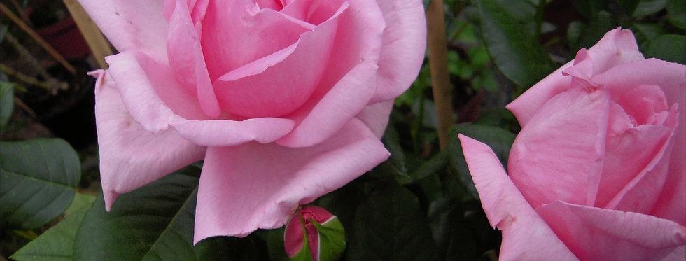 Ghita Renaissance rosier buisson