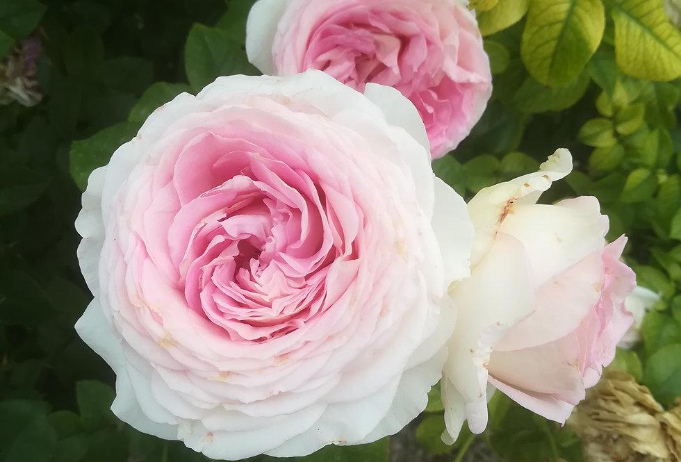 Ragazza rosier buisson