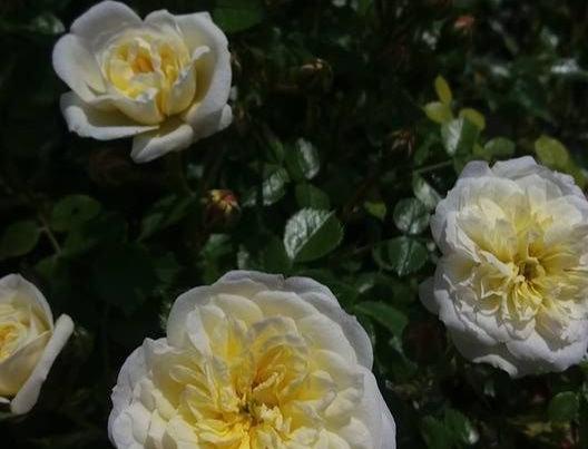 Irène de Danemark rosier buisson