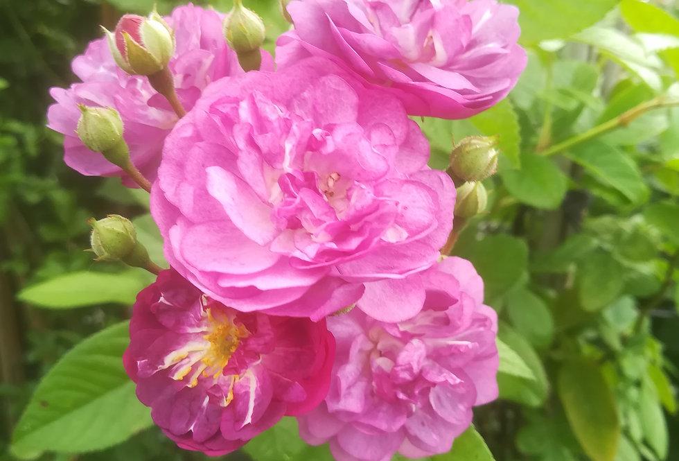 Rose-Marie Viaud rosier ancien