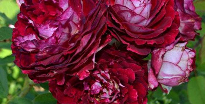 Belle de Segosa rosier buisson