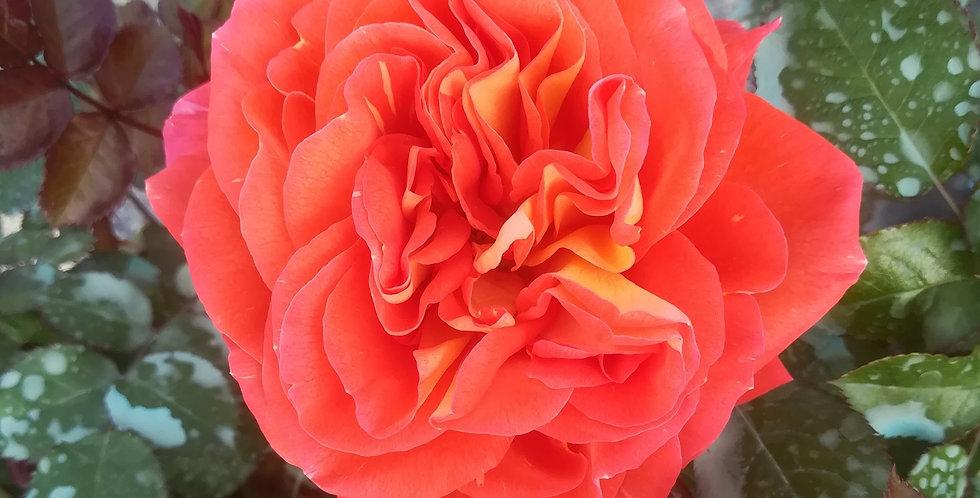 Terra Botanica rosier buisson
