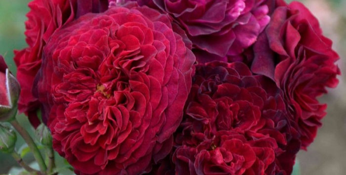 Christian Tetedoie rosier buisson