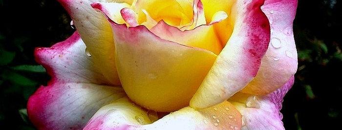 Concours Lépine rosier buisson