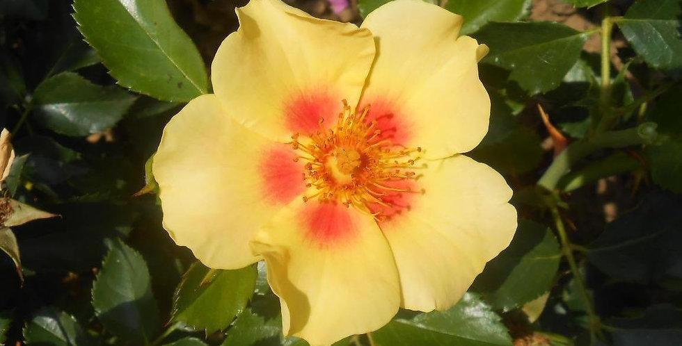 Cyrus rosier buisson