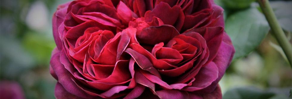 "Madame de Montespan ""Comtesse Diana"" rosier grimpant"