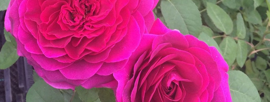 Purple Voluptia rosier Buisson